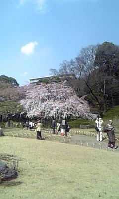 小石川後楽園桜満開